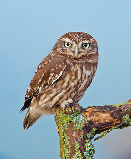 BRD 07 WF0024 01 © Kimball Stock Little Owl Perched On Wooden Post