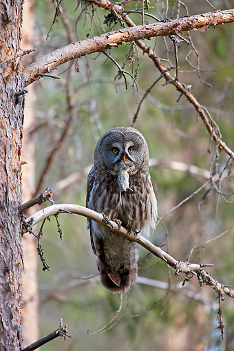 BRD 07 WF0025 01 © Kimball Stock Great Grey Owl Perched On Branch With Mouse In Mouth