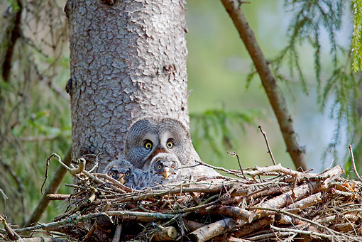 BRD 07 WF0026 01 © Kimball Stock Great Grey Owl Sitting In Nest With Chicks