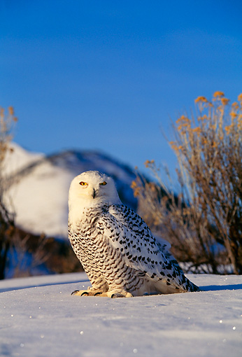 BRD 07 DB0001 01 © Kimball Stock Snowy Owl In Winter Habitat