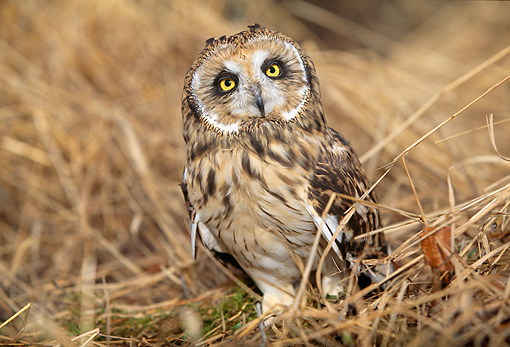BRD 07 LS0001 01 © Kimball Stock Short-Eared Owl Standing In Field Of Dry Grass