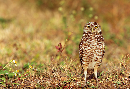 BRD 07 LS0002 01 © Kimball Stock Burrowing Owl Standing On Grass Florida