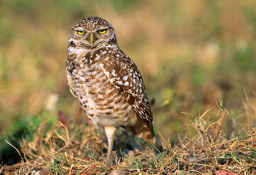 BRD 07 LS0003 01 © Kimball Stock Burrowing Owl Standing On Grass Florida