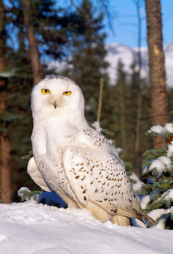 BRD 07 LS0004 01 © Kimball Stock Snowy Owl Standing On Snow By Forest Mountain