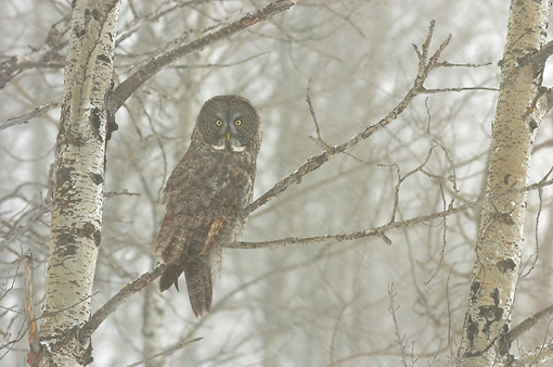BRD 07 NE0001 01 © Kimball Stock Great Grey Owl Perching On Tree Branch During Snowstorm