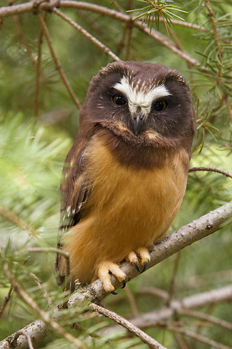 BRD 07 NE0002 01 © Kimball Stock Young Northern Saw-Whet Owl Perching On Tree Branch