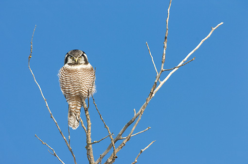 BRD 07 NE0003 01 © Kimball Stock Northern Hawk Owl Perching On Tree Top