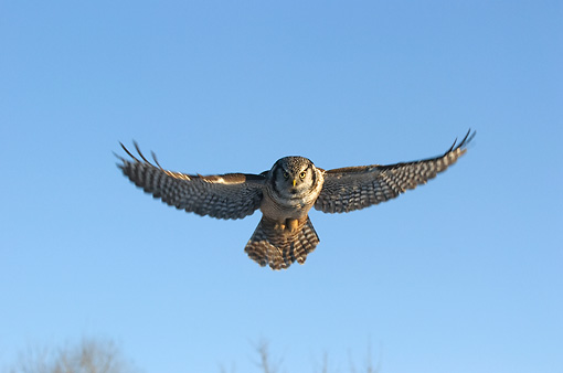 BRD 07 NE0008 01 © Kimball Stock Northern Hawk Owl Soaring Blue Sky