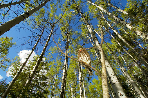 BRD 07 NE0012 01 © Kimball Stock Northern Pygmy Owl Perching On Branch In Forest