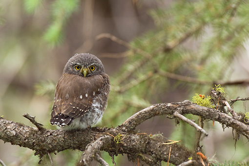 BRD 07 NE0013 01 © Kimball Stock Young Northern Pygmy Owl Perching On Branch
