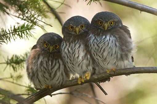 BRD 07 NE0014 01 © Kimball Stock Three Young Northern Pygmy Owls Perching On Branch