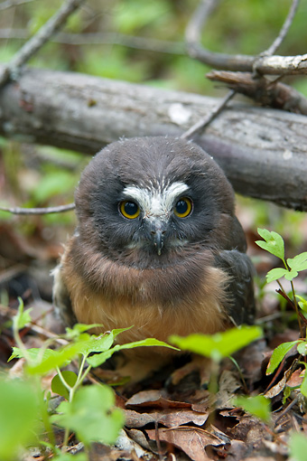 BRD 07 NE0015 01 © Kimball Stock Young Northern Pygmy Owl Sitting On Forest Floor