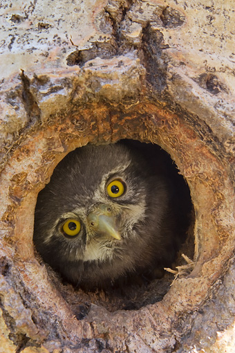 BRD 07 NE0017 01 © Kimball Stock Northern Pygmy Owl Peeking Out Of Hole In Hollow Tree