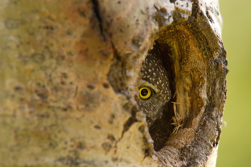 BRD 07 NE0018 01 © Kimball Stock Northern Pygmy Owl Peeking Out Of Hole In Hollow Tree