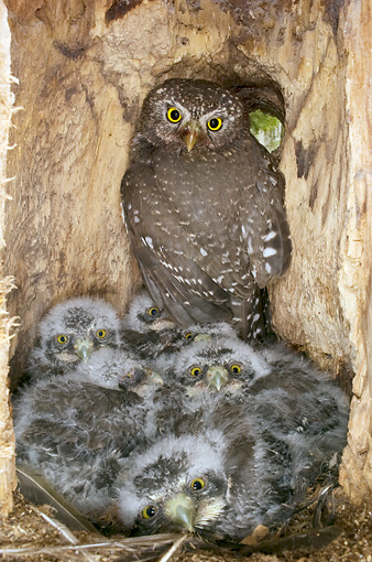 BRD 07 NE0019 01 © Kimball Stock Northern Pygmy Owl Adult And Chicks Sitting In Nest In Hollow Tree