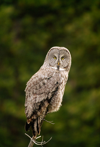 BRD 07 RF0011 01 © Kimball Stock Great Grey Owl Perching On Branch
