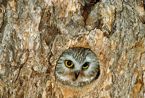 BRD 07 RF0013 01 © Kimball Stock Saw-Whet Owl Peering Out Of Nest In Tree Trunk