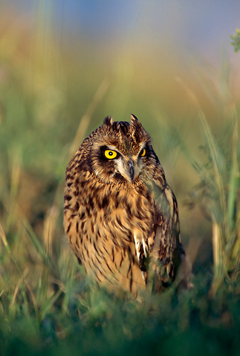 BRD 07 RF0014 01 © Kimball Stock Short-Eared Owl Sitting In Field