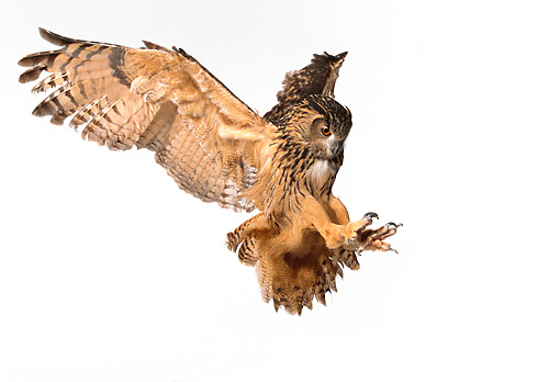 BRD 07 RK0013 07 © Kimball Stock Eurasian Eagle Owl In Flight On White Seamless Studio
