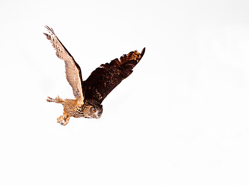 BRD 07 RK0024 01 © Kimball Stock Eurasian Eagle Owl In  Flight On White Seamless Studio