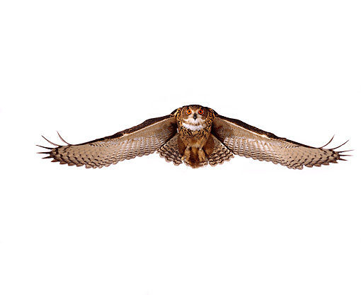 BRD 07 RK0025 05 © Kimball Stock Eurasian Eagle Owl In Flight White Seamless Studio