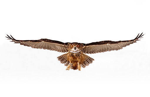 BRD 07 RK0025 09 © Kimball Stock Eurasian Eagle Owl In Flight White Seamless Studio