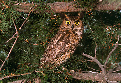 BRD 07 RK0027 31 © Kimball Stock Screech Owl Sitting On Branch In Tree