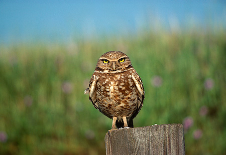BRD 07 RK0036 03 © Kimball Stock Burrowing Owl Sitting On Wooden Post