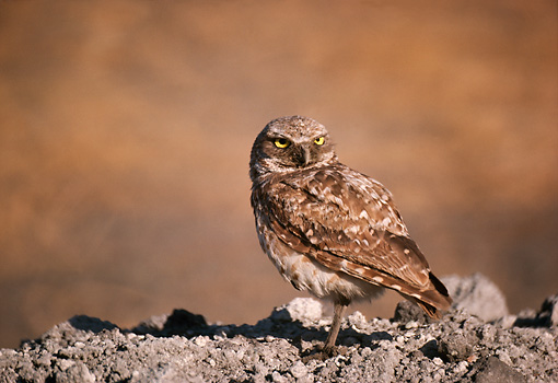 BRD 07 RK0037 01 © Kimball Stock Burrowing Owl On Dirt