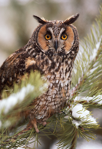 BRD 07 RK0039 01 © Kimball Stock Long Eared Owl In Snow Covered Pine Tree