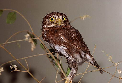 BRD 07 RK0043 01 © Kimball Stock Pygmy Owl Sitting On Branch