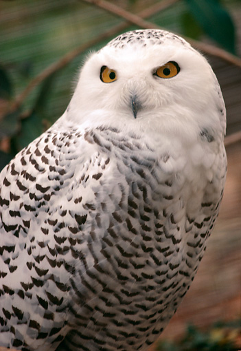BRD 07 RK0068 01 © Kimball Stock Head Shot Of Snowy Owl