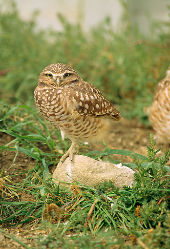 BRD 07 RW0001 01 © Kimball Stock Burrowing Owl Standing On Rock By Grass
