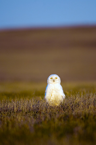 BRD 07 SK0001 01 © Kimball Stock Snowy Owl Sitting On Tundra In Summer Alaska