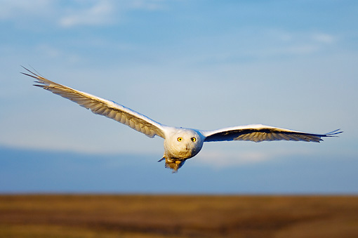 BRD 07 SK0002 01 © Kimball Stock Snowy Owl Flying Over Tundra In Summer Alaska