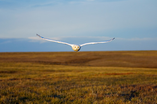 BRD 07 SK0003 01 © Kimball Stock Snowy Owl Flying Over Tundra In Summer Alaska