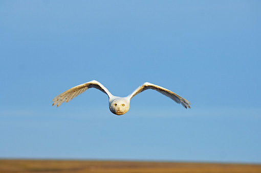 BRD 07 SK0004 01 © Kimball Stock Snowy Owl Flying Over Tundra In Summer Alaska