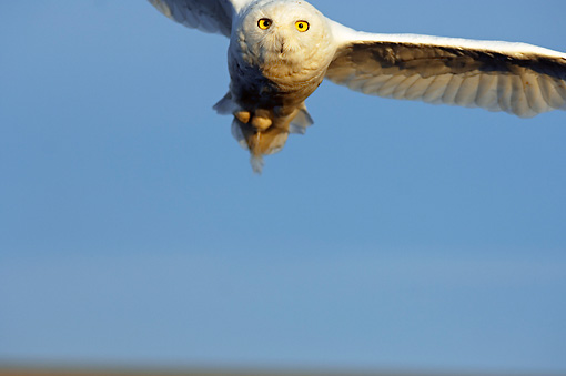 BRD 07 SK0005 01 © Kimball Stock Snowy Owl Flying Over Tundra In Summer Alaska