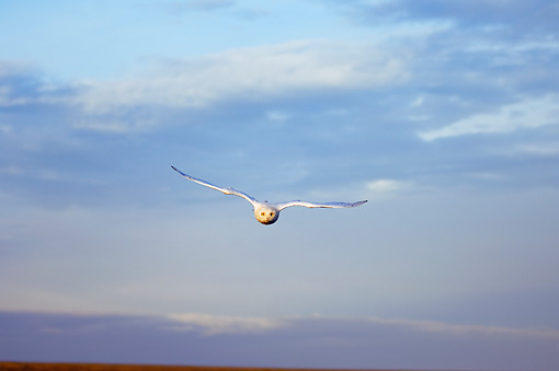 BRD 07 SK0006 01 © Kimball Stock Snowy Owl Flying Over Tundra In Summer Alaska