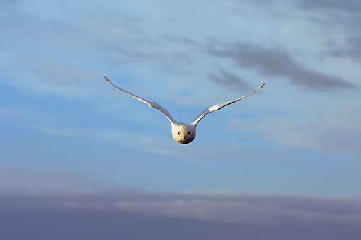 BRD 07 SK0007 01 © Kimball Stock Snowy Owl Flying Over Tundra In Summer Alaska