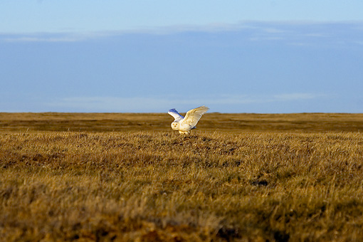 BRD 07 SK0008 01 © Kimball Stock Snowy Owl Landing On Tundra In Summer Alaska