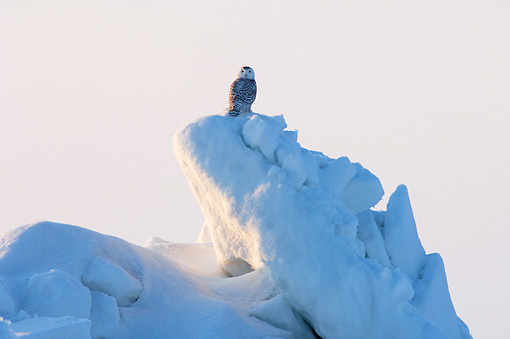 BRD 07 SK0009 01 © Kimball Stock Snowy Owl Sitting On Pack Ice Alaska