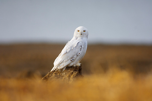 BRD 07 SK0012 01 © Kimball Stock Snowy Owl Sitting On Tundra In Summer Alaska