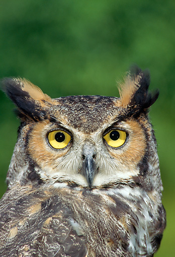 BRD 07 TK0001 01 © Kimball Stock Head On Head Shot Of Great Horned Owl