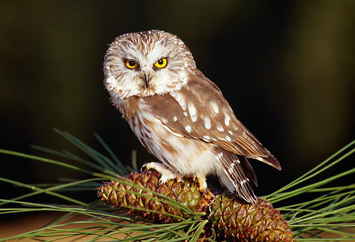 BRD 07 TK0002 01 © Kimball Stock Northern Saw-Whet Owl Sitting On Pinecones