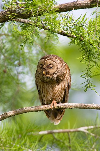 BRD 07 TL0001 01 © Kimball Stock Barred Owl In Southern Swamp