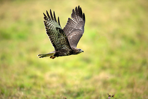 BRD 08 AC0004 01 © Kimball Stock Common Buzzard Flying In Germany