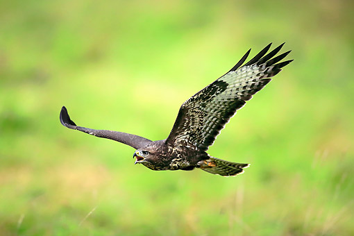 BRD 08 AC0005 01 © Kimball Stock Common Buzzard Flying In Germany