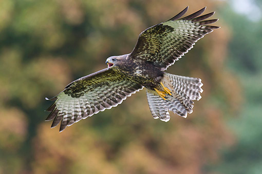 BRD 08 AC0007 01 © Kimball Stock Common Buzzard Soaring Over Lower Saxony, Germany