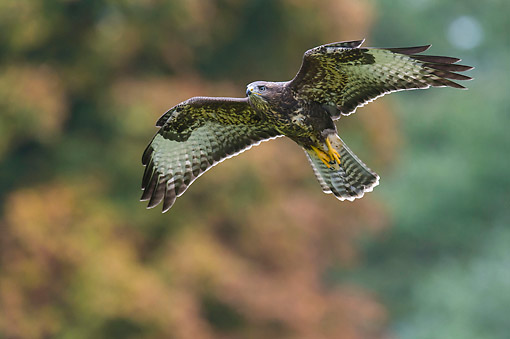 BRD 08 AC0008 01 © Kimball Stock Common Buzzard Soaring Over Lower Saxony, Germany
